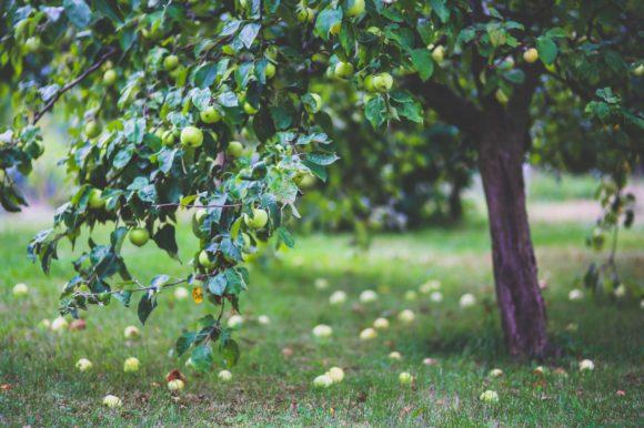 Potpora za proizvođače jabuka